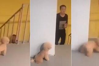 Viral: perro ve llegar a su dueño y decide asustarlo escondiéndose, pero todo acaba mal [VIDEO]
