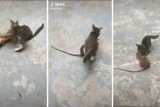 Rata gigante le hace el 'pare' a un gato bebé pero termina derrotada [VIDEO]