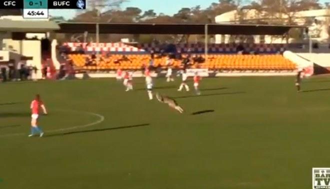 ¡A correr! Canguro invade partido de fútbol y jugadores salen disparados