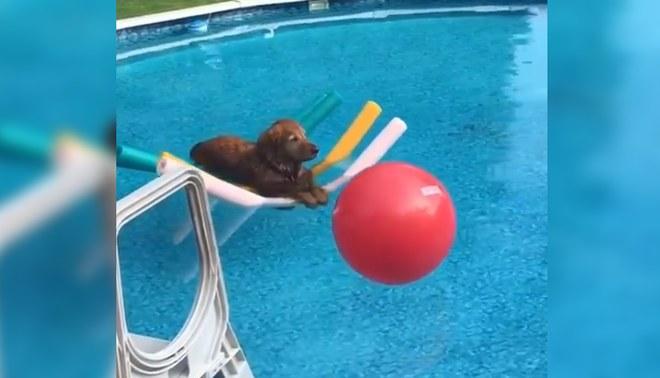 Perro es viral por relajarse en piscina y jugar con su pelota | FOTO: Captura Twitter