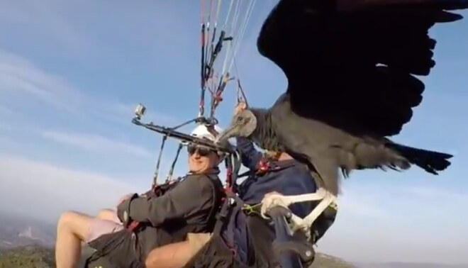 Buitre logra hacer parapente mientras lo piloteaba un hombre