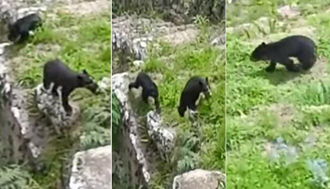 Osa de anteojos y su cría son captados en Machu Picchu - FOTO: captura DDC-Cusco Facebook